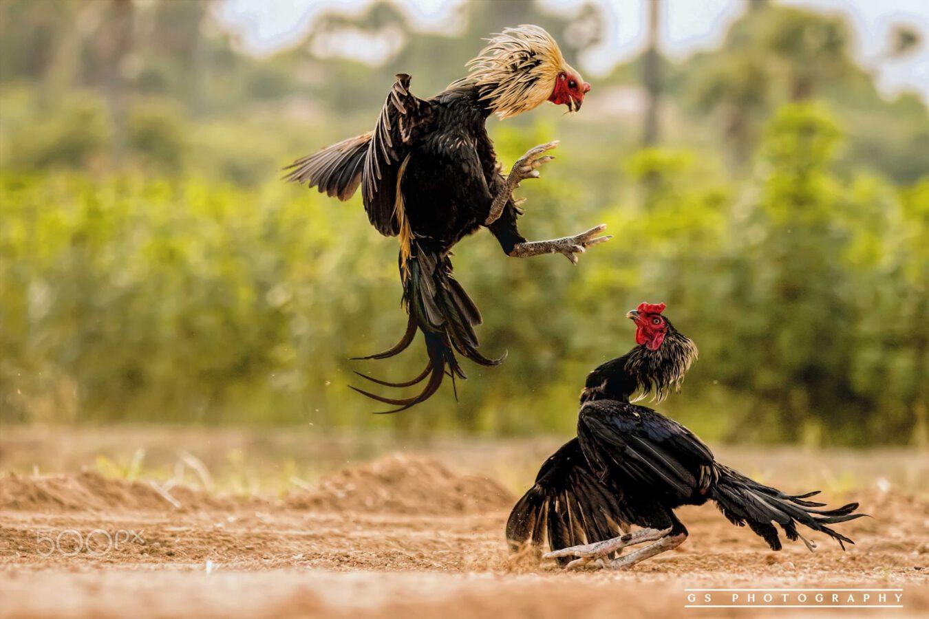 Bermain Judi Sabung Ayam Di S128